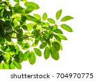 green leaf and branches on... | Shutterstock . vector #704970775