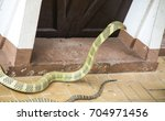 ophiophagus hannah or king... | Shutterstock . vector #704971456