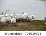 geese on a river | Shutterstock . vector #705019336