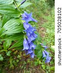 Small photo of Gentiana is a genus of flowering plants belonging to the gentian family Gentianaceae, Styria Austria