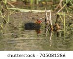 a coot  juvenile  swimming on a ... | Shutterstock . vector #705081286