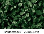 green leaves. nature background.... | Shutterstock . vector #705086245