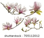 magnolia flowers on white... | Shutterstock . vector #705112012