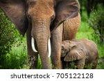 grazing elephant in tarangire... | Shutterstock . vector #705122128