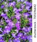 A Field Of Violet Blue Lobelia...