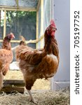 Small photo of GLASGOW, SCOTLAND, UK - AUGUST 16 2013: An ISA Brown hen coming into the hen house.