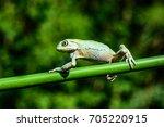 """Phyllomedusa bicolor - """"Giant waxy monkey frog"""