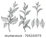 set of tea bush branches with... | Shutterstock . vector #705233575