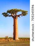 beautiful baobab trees at... | Shutterstock . vector #705245596