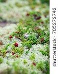wild lingonberry growing in...   Shutterstock . vector #705273742