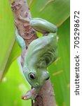 dumpy frogs  tree frogs | Shutterstock . vector #705298672