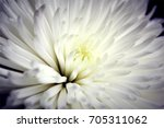 Chrysanthemums Flower....