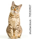 Stock photo bengal cat in light brown and cream looking with pleading stare at the viewer with space for 70533907