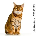 Stock photo bengal cat in orange and brown stripes like a tiger looking with angry stare at the viewer with 70533925
