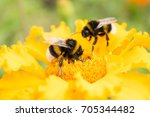 Two Bumblebees On A Yellow...
