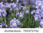 Delicate Blue Iris Flowers On A ...