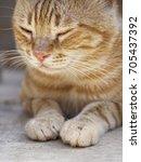 sleepy cat  cat portrait  | Shutterstock . vector #705437392