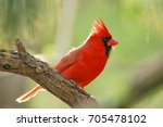 Red Male Northern Cardinal...