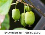 green kiwi fruit on actinidia... | Shutterstock . vector #705601192