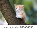 adorable red kitten posing on a ... | Shutterstock . vector #705654055