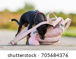 Small photo of picture of a pinscher hybrid puppy who is looking at a woman's handbag