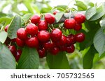 Ripe Cherries In A Tree