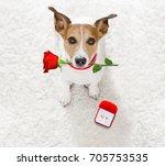 jack russel dog in love  ... | Shutterstock . vector #705753535