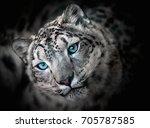 Snow Leopard Irbis   Portrait