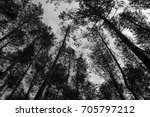 spruce tree crowns seen from... | Shutterstock . vector #705797212