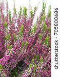 Calluna Vulgaris Garden Girls...