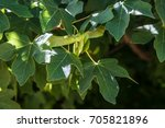 Small photo of Acer Campestre samara, Italian wood