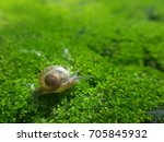 Burgundy Snails  Helix  Roman...