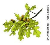 oak branch sketch vector... | Shutterstock .eps vector #705858598