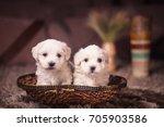 Stock photo maltese puppies 705903586