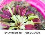 the venus flytrap  also...   Shutterstock . vector #705906406