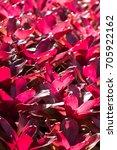 Small photo of Aechmea fasciata in red