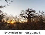 huge baobab plant in the... | Shutterstock . vector #705925576