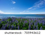Iceland   Purple Lupine Flower...