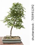 Small photo of Field maple (acer campestre) bonsai on a wooden table and white background