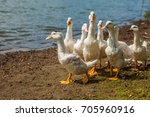 white ducks  geese on the shore ... | Shutterstock . vector #705960916