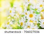 Chamomile Flowers Field  In Su...