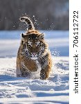 siberian tiger in the snow ... | Shutterstock . vector #706112722