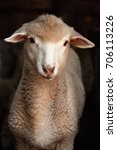 Lamb Sheep. Portrait Of A Shee...