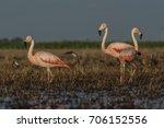 flamingos  patagonia argentina   Shutterstock . vector #706152556