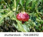 Small photo of Abutilon striatum