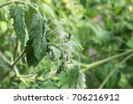 Whiteflies on a tomato leaf....