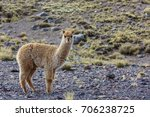 peruvian alpaca in andes | Shutterstock . vector #706238725