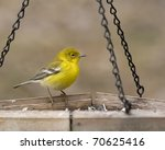 Bright yellow warbler sitting on bird feeder - stock photo