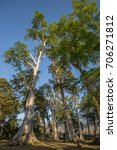 banyan mahogany trees in north... | Shutterstock . vector #706271812