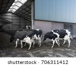 black and white holstein cows... | Shutterstock . vector #706311412